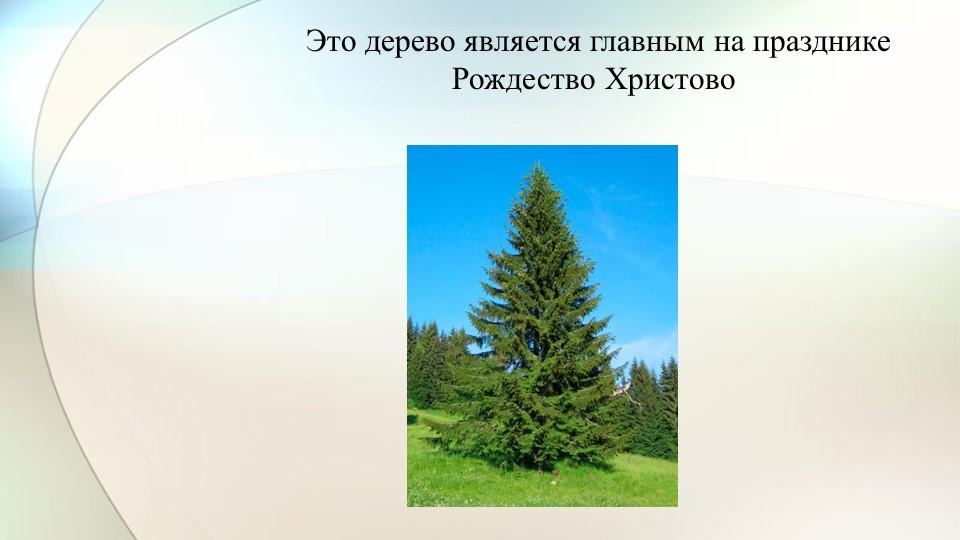 Это дерево является главным на празднике Рождество Христово