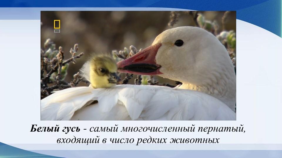 Белый гусь - самый многочисленный пернатый, входящий в число редких животных