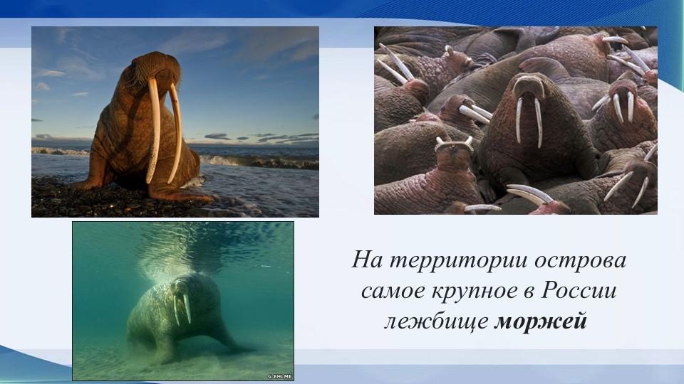 На территории острова самое крупное в России лежбищеморжей