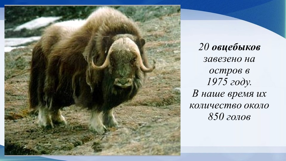 20 овцебыков завезено на остров в 1975 году.В наше время их количество окол...