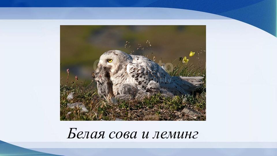 Белая сова и леминг