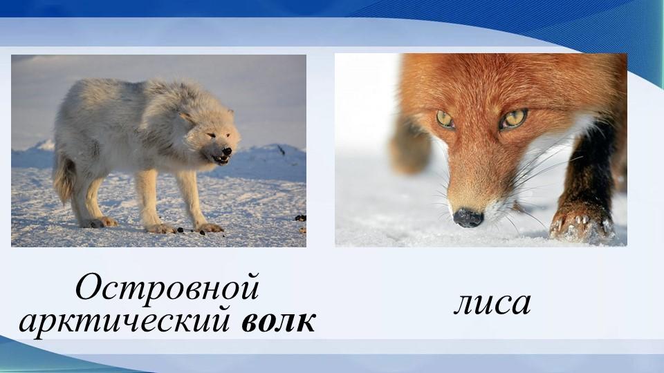 лисаОстровной арктический волк