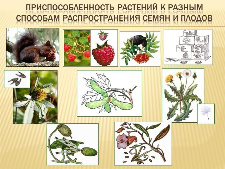Приспособленность растений к разным способам Распространения семян и плодов