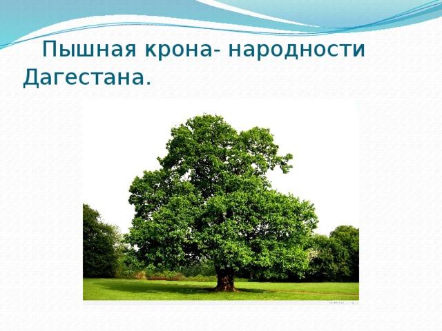 Пышная крона- народности Дагестана.