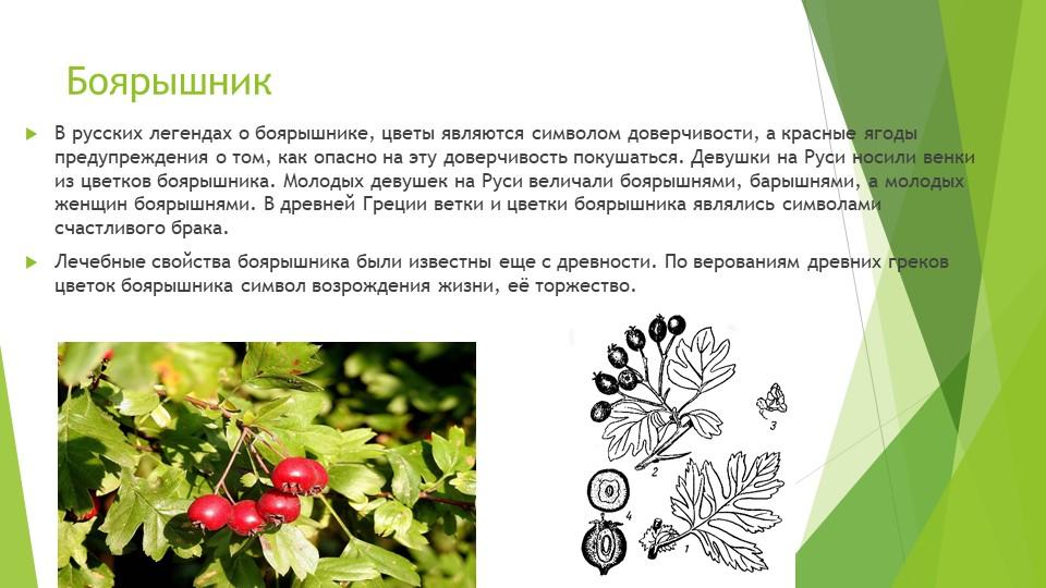 БоярышникВ русских легендах о боярышнике, цветы являются символом доверчивост...