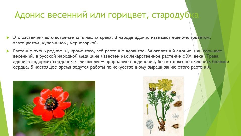 Адонис весенний или горицвет, стародубкаЭто растение часто встречается в наши...