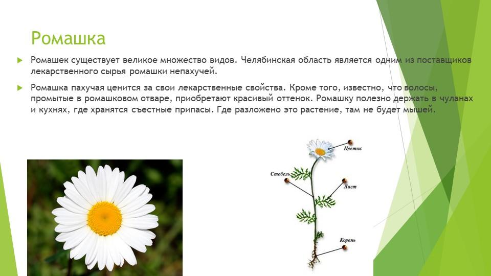 РомашкаРомашек существует великое множество видов. Челябинская область являет...