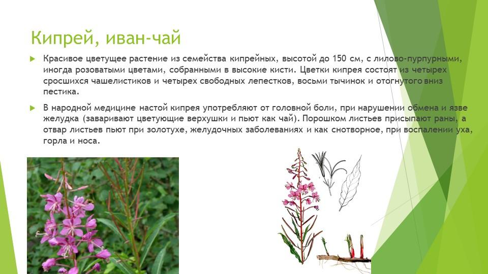 Кипрей, иван-чайКрасивое цветущее растение из семейства кипрейных, высотой до...