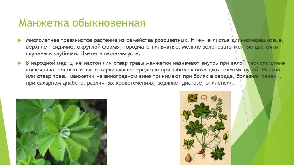 Манжетка обыкновеннаяМноголетнее травянистое растение из семейства розоцветны...
