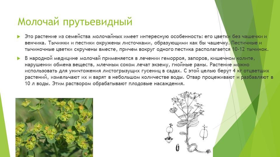 Молочай прутьевидныйЭто растение из семейства молочайных имеет интересную осо...