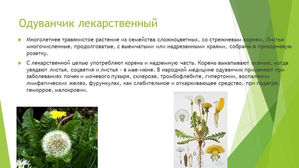 Одуванчик лекарственныйМноголетнее травянистое растение из семейства сложноцв...