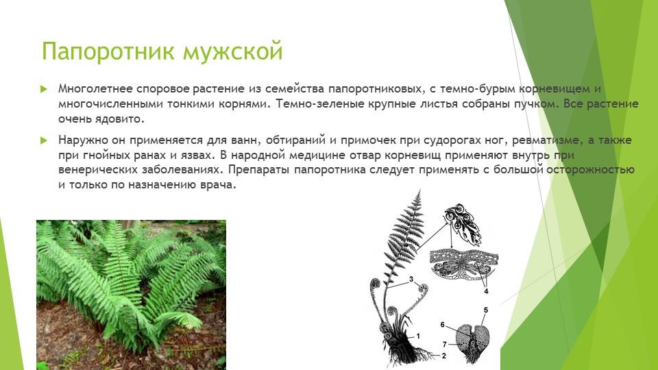 Папоротник мужскойМноголетнее споровое растение из семейства папоротниковых,...