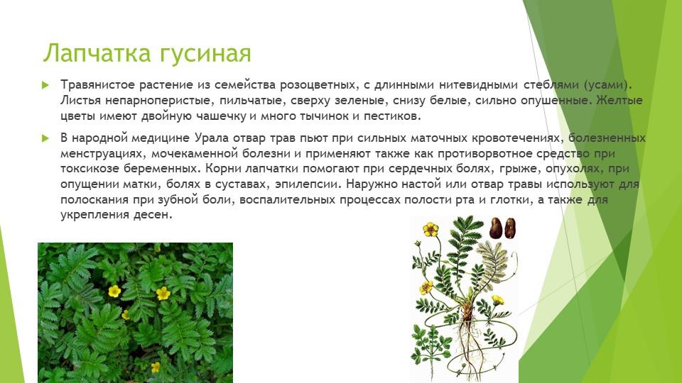 Лапчатка гусинаяТравянистое растение из семейства розоцветных, с длинными нит...