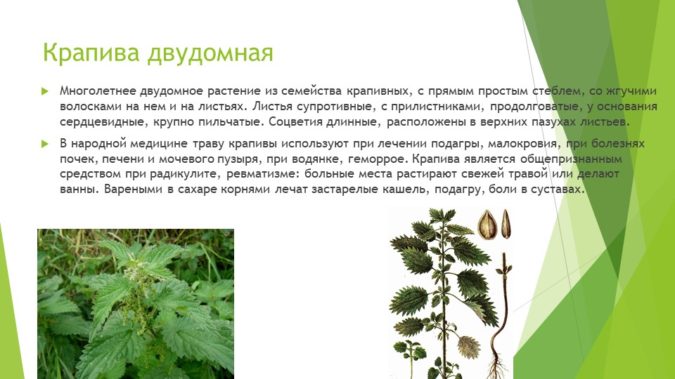 Крапива двудомнаяМноголетнее двудомное растение из семейства крапивных, с пря...