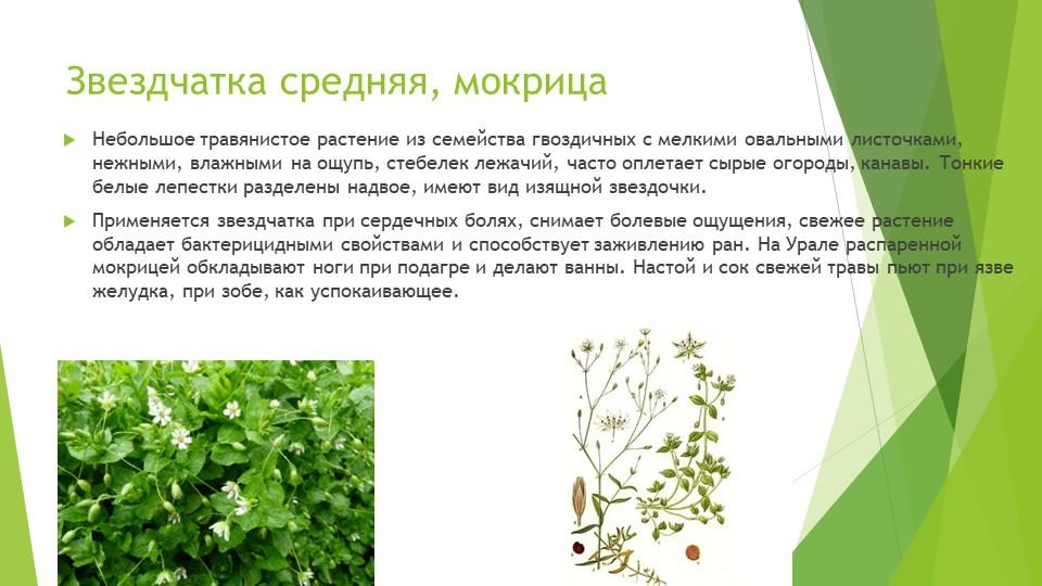 Звездчатка средняя, мокрицаНебольшое травянистое растение из семейства гвозди...