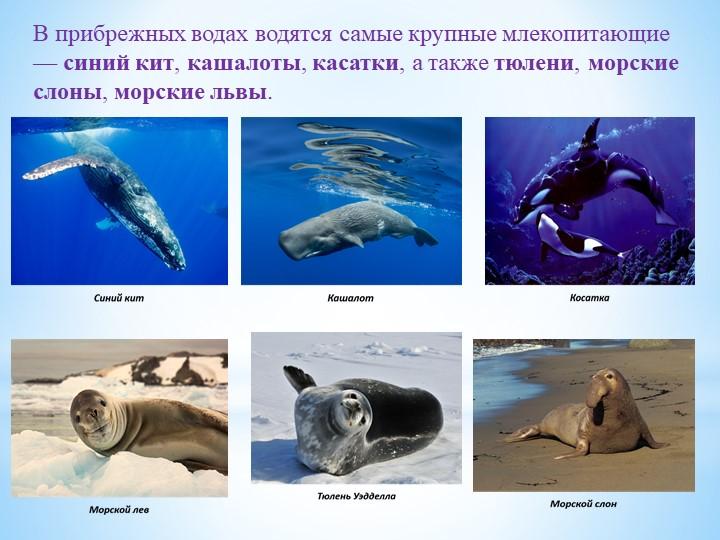 В прибрежных водах водятся самые крупные млекопитающие —синий кит,кашалоты,...