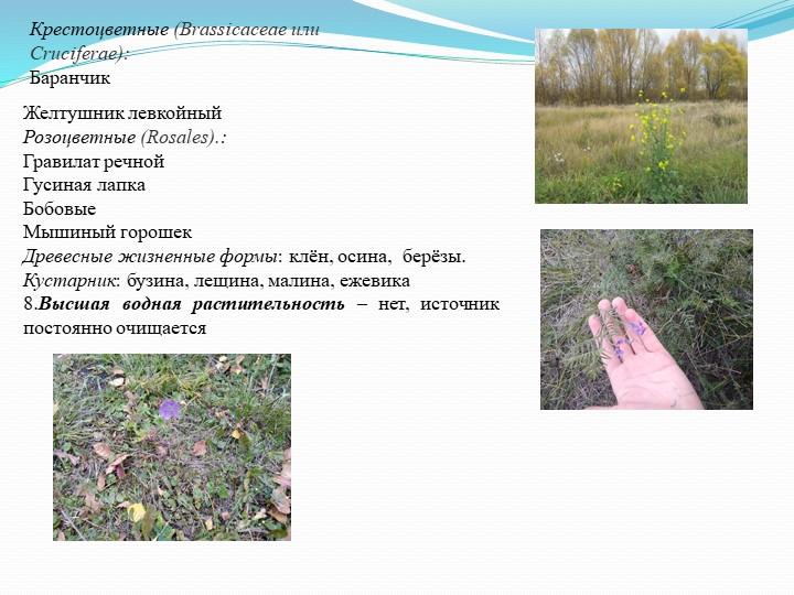 Крестоцветные (Brassicaceae или Cruciferae):БаранчикЖелтушник левкойныйРоз...