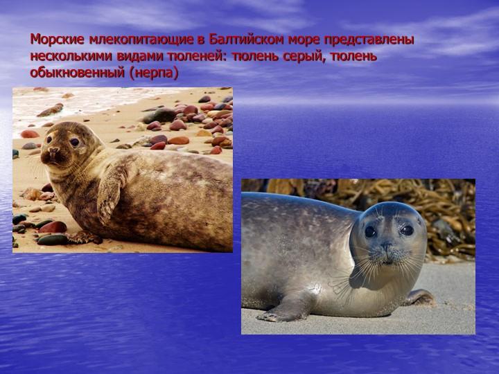 Морские млекопитающие в Балтийском море представлены несколькими видами тюлен...