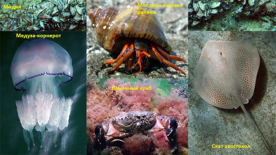 Скат-хвостоколМедуза-корнеротКаменный крабМоллюск-хищник рапанаМидии