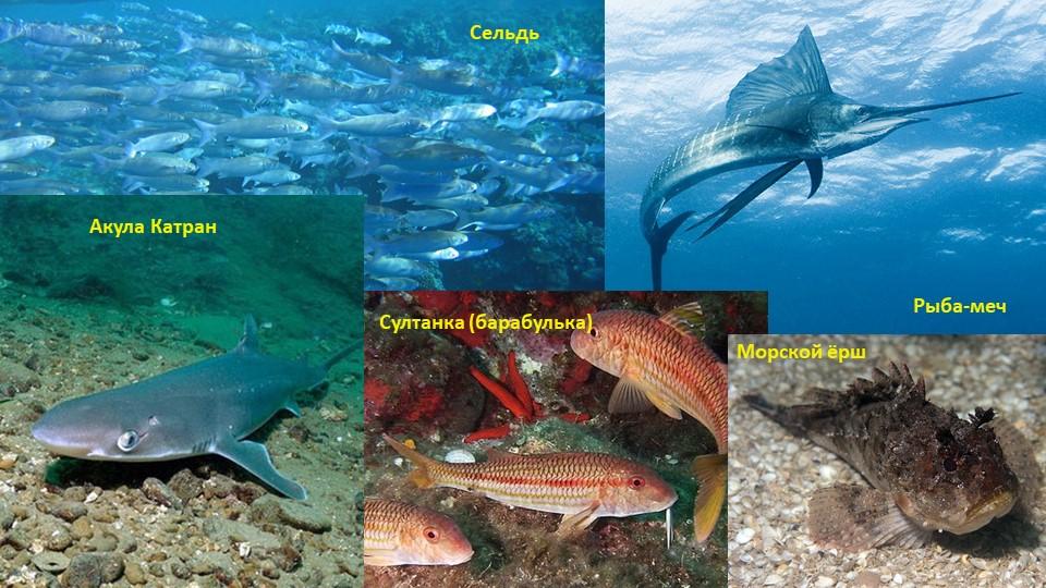 Акула КатранРыба-мечСултанка (барабулька)Морской ёршСельдь