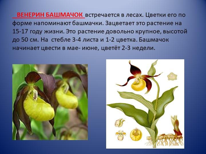ВЕНЕРИН БАШМАЧОК  встречается в лесах. Цветки его по форме напоминают башм...