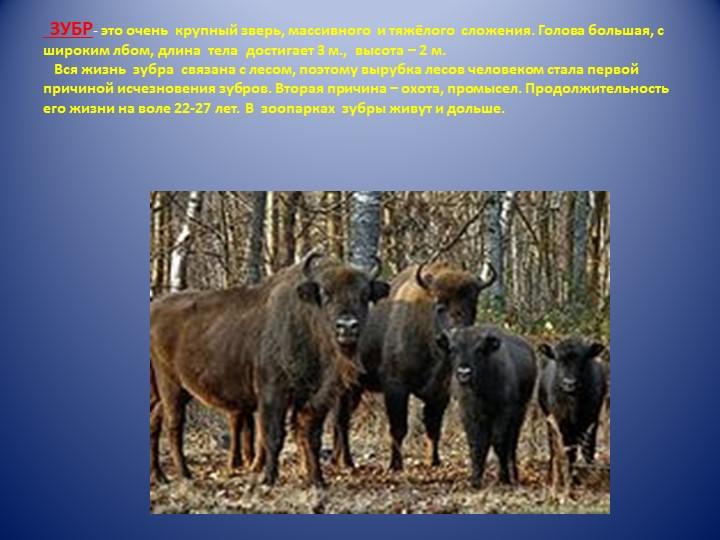 ЗУБР- это очень  крупный зверь, массивного  и тяжёлого  сложения. Голова бо...