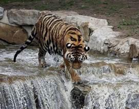 Доклад про амурского тигра для детей