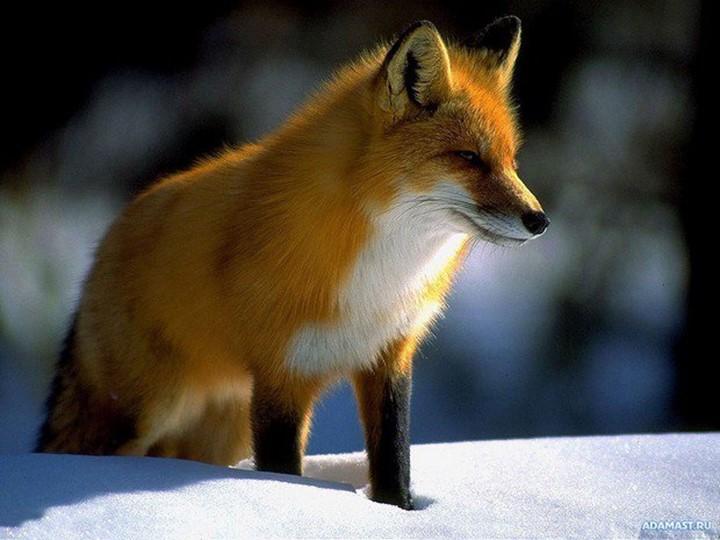 Рыжая плутовка, Хитрая да ловкая. Хвост пушистый, Мех золотистый. В лесу...