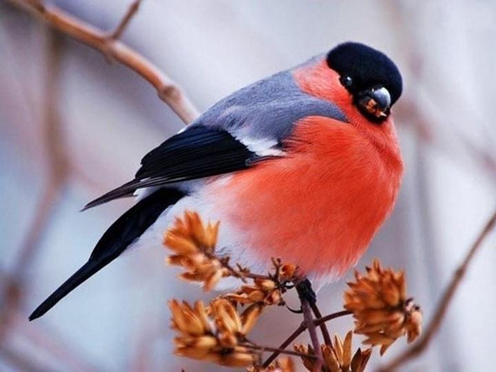 Чернокрылый,КрасногрудыйИ зимой найдет приют:Не боится он простуды- С пер...
