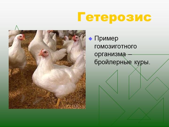 ГетерозисПример гомозиготного организма – бройлерные куры.
