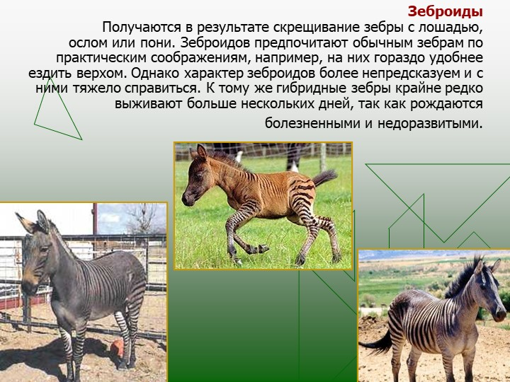 ЗеброидыПолучаются в результате скрещивание зебры с лошадью, ослом или пони...