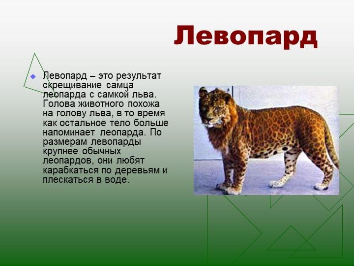 ЛевопардЛевопард – это результат скрещивание самца леопарда с самкой льва. Го...