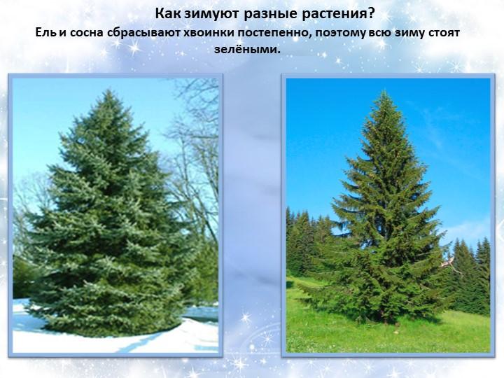 Как зимуют разные растения? Ель и сосна...