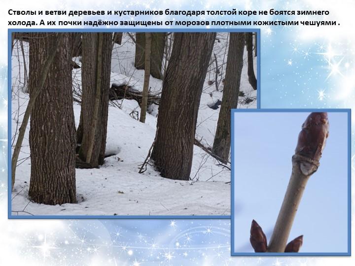 Стволы и ветви деревьев и кустарников благодаря толстой коре не боятся зимнег...