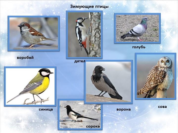 Зимующие птицыворобейголубьдятелворонасиницасовасорока