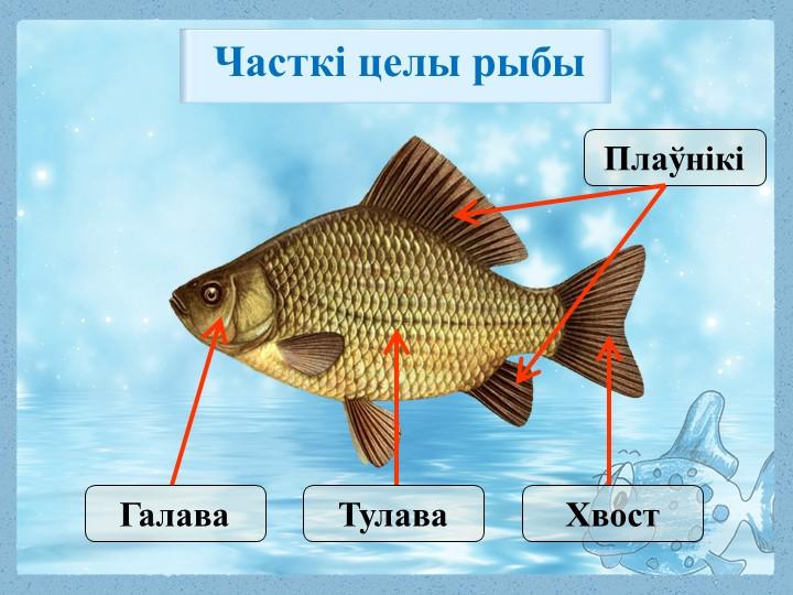 ПлаўнікіХвостТулаваГалаваЧасткі целы рыбы