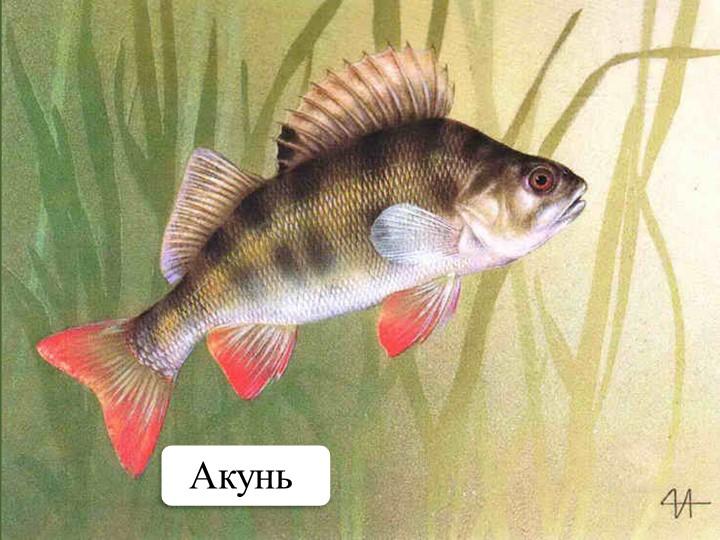 Акунь