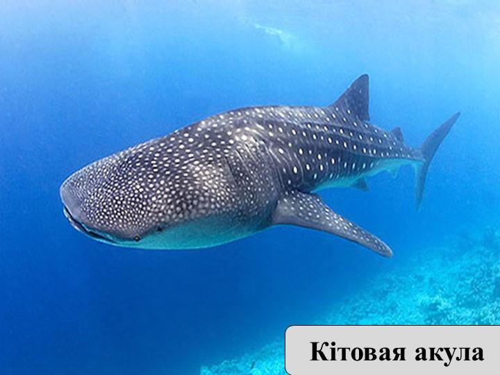 Есть рыбы-гиганты и рыбы- карлики. Самая большая рыба — китовая акула. Длина...