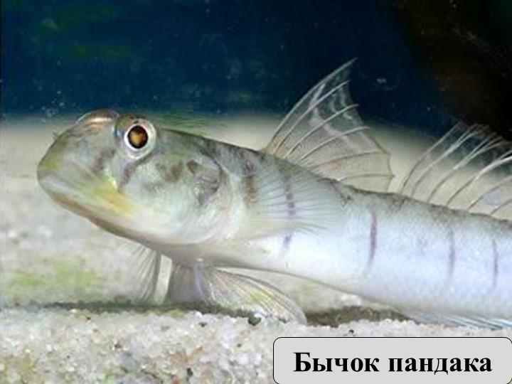 Самая маленькая рыбка — бычок пандака. Её длина около 11 мм.Бычок пандака