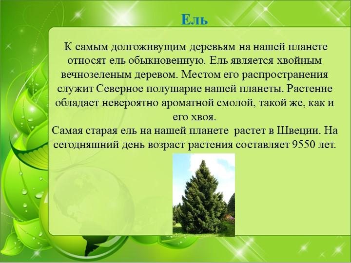 Ель  К самым долгоживущим деревьям на нашей планете относятель обыкновенн...