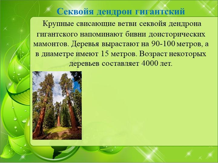 Секвойя дендрон гигантский Крупные свисающие ветви секвойя дендрона гигантск...