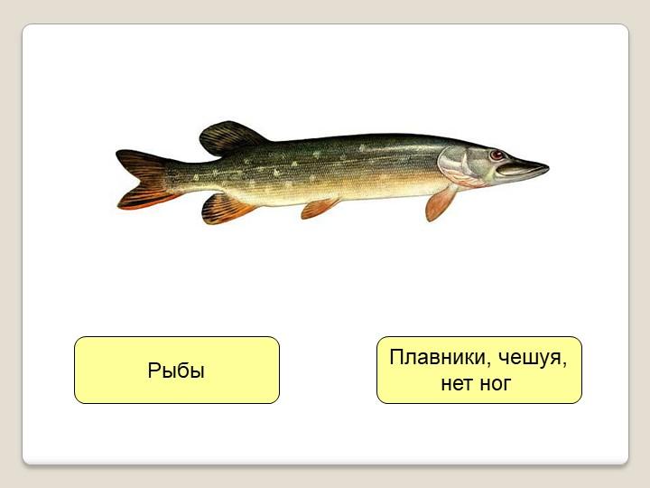 Плавники, чешуя,нет ног Рыбы