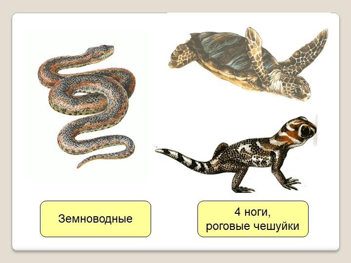 Земноводные4 ноги,роговые чешуйки