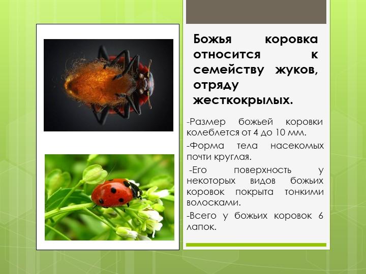 Божья коровка относится к семейству жуков, отряду жесткокрылых.-Размер божьей...