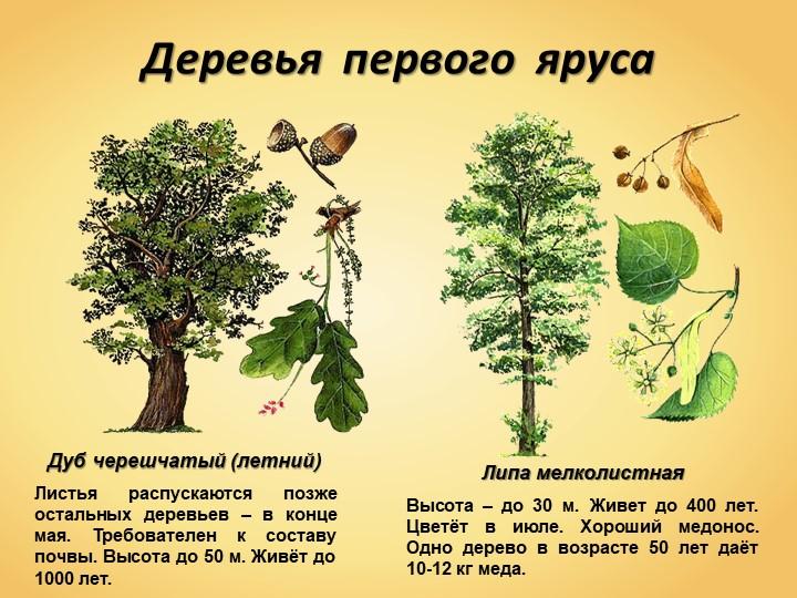 Деревья  первого  ярусаДуб черешчатый (летний)Листья распускаются позже оста...