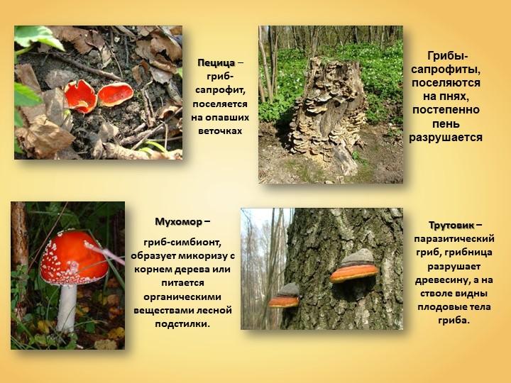 Пецица – гриб- сапрофит, поселяется на опавших веточках Грибы- сапрофиты, пос...