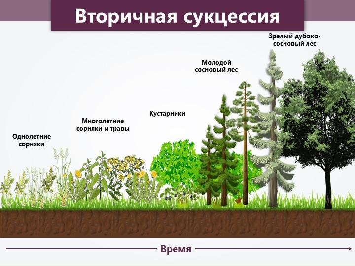 ВремяМноголетние сорняки и травыКустарникиМолодой сосновый лесЗрелый дубово-с...