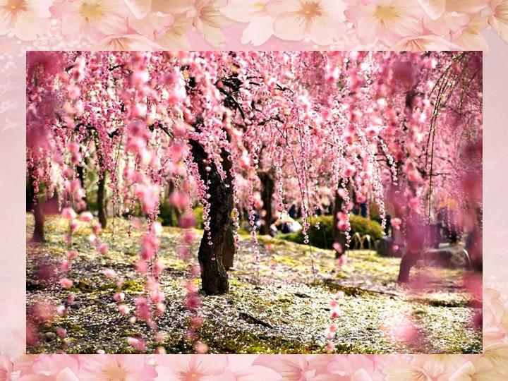 Хаару, по-японски весна, - время цветения декоративной вишни «сакуры», с кото...