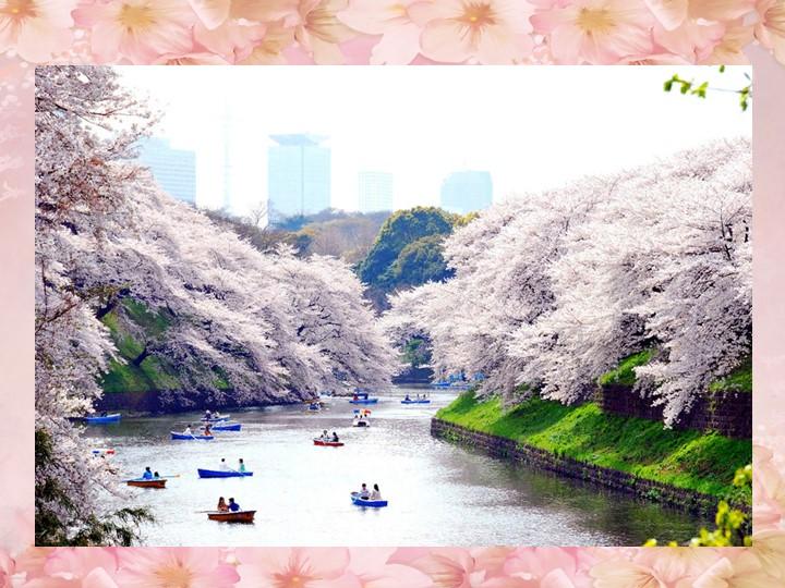 С конца марта по начало апреля Япония полностью преображается: сотни деревьев...