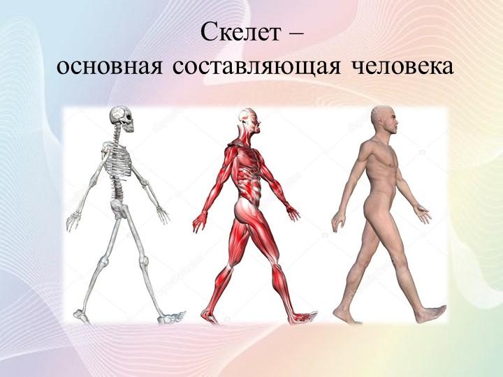 Скелет – основная составляющая человека